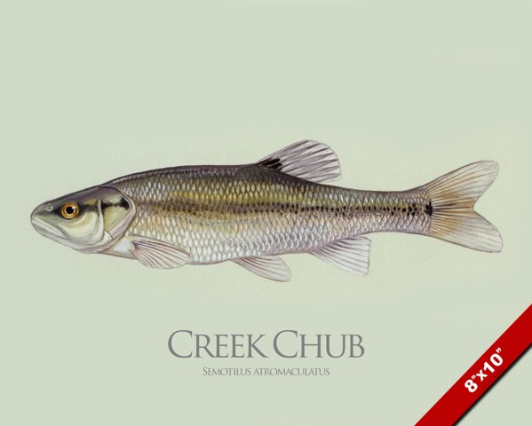 CREEK CHUB MINNOW FISH PAINTING AMERICAN FISHING ART REAL ...