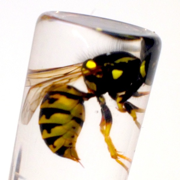 REAL WESTERN YELLOW JACKET WASP V Pensylanica WET SPECIMEN